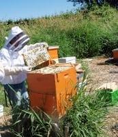 Ian Lai harvesting honey