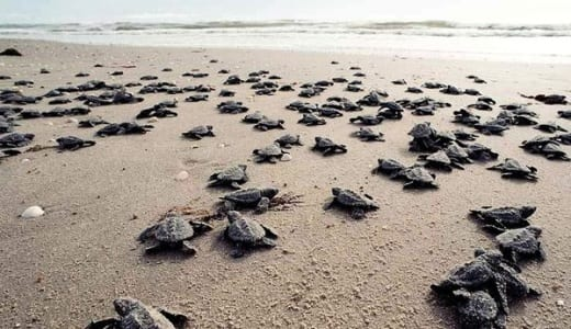 Ridley Sea Turtles in Miami-Dade Country, Fla.