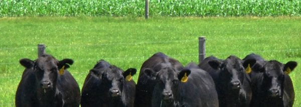 Cow Bellies and Corn Fields – By Jim Obermeyer